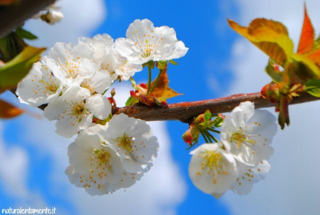 sul tempo che scorre fiori di ciliegio
