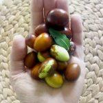 Autunno e frutti selvatici: le giuggiole